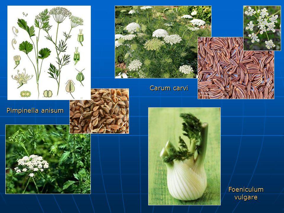 Carum carvi Pimpinella anisum Foeniculum vulgare