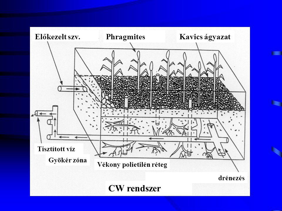 CW rendszer Előkezelt szv. Phragmites Kavics ágyazat Tisztított víz