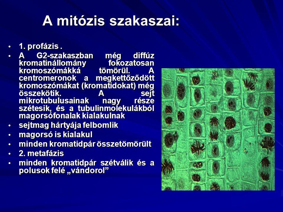 A mitózis szakaszai: 1. profázis .