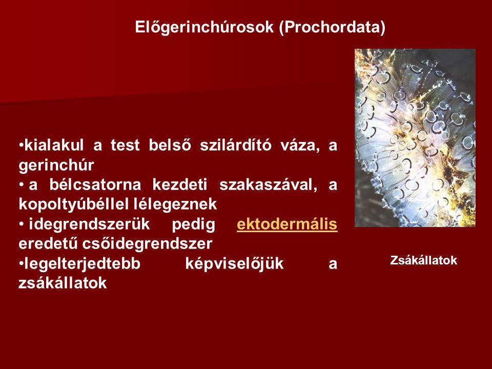 Előgerinchúrosok (Prochordata)