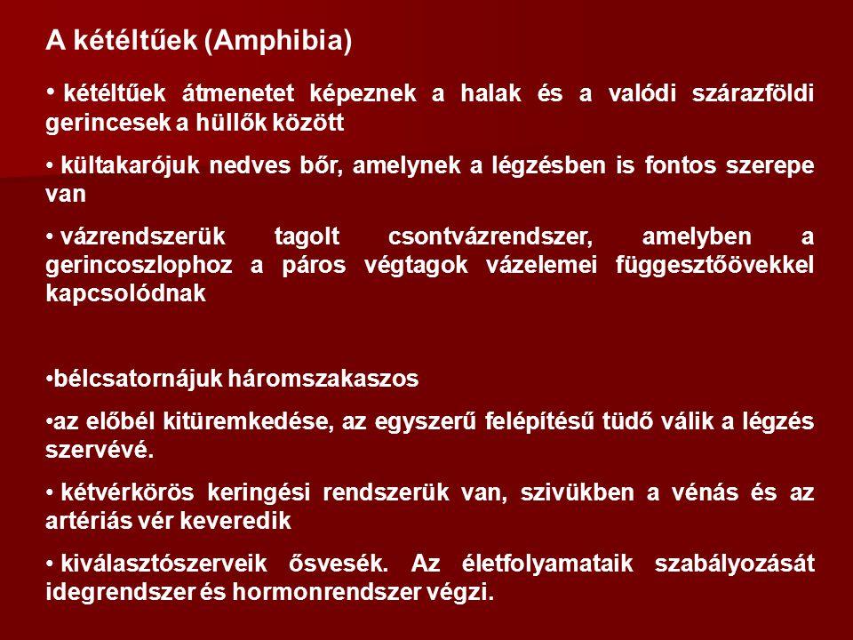 A kétéltűek (Amphibia)
