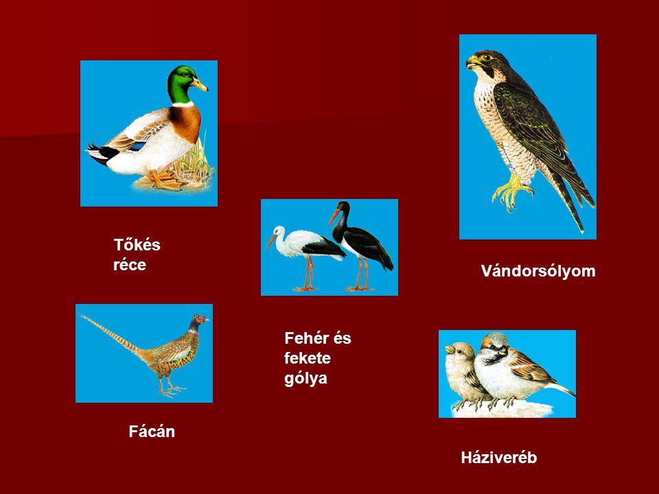 Tőkés réce Vándorsólyom Fehér és fekete gólya Fácán Háziveréb