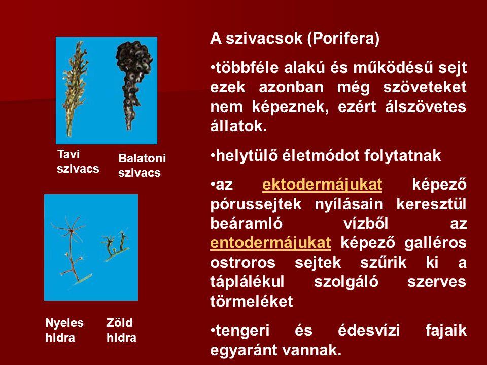 A szivacsok (Porifera)