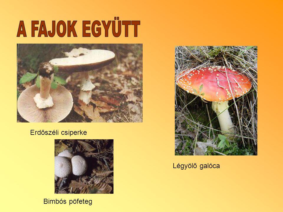 A FAJOK EGYÜTT Erdőszéli csiperke Légyölő galóca Bimbós pöfeteg