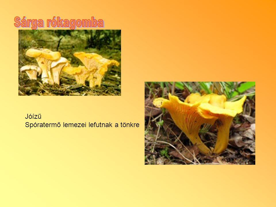 Sárga rókagomba Jóízű Spóratermő lemezei lefutnak a tönkre