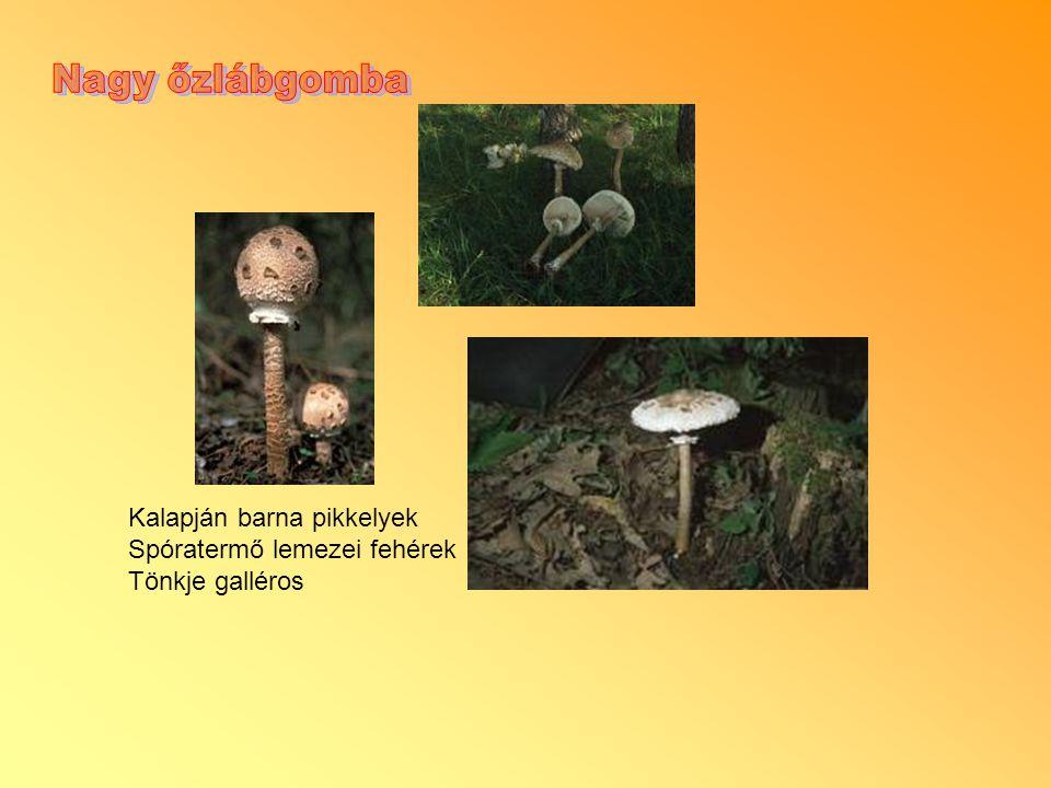 Nagy őzlábgomba Kalapján barna pikkelyek Spóratermő lemezei fehérek
