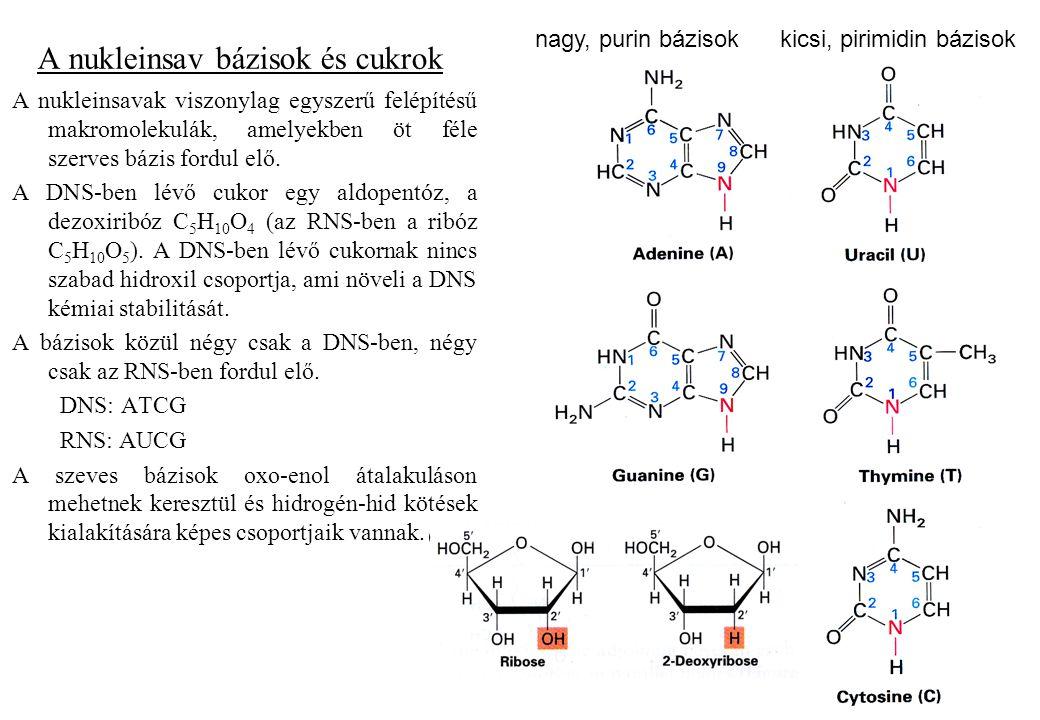 A nukleinsav bázisok és cukrok