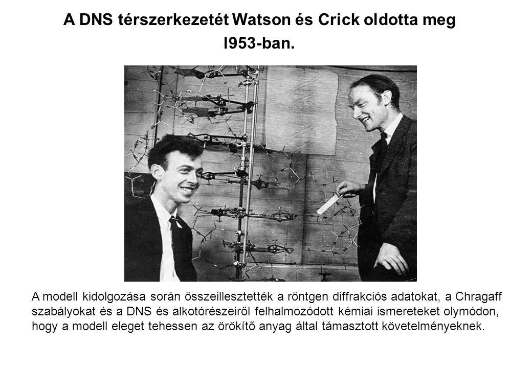 A DNS térszerkezetét Watson és Crick oldotta meg