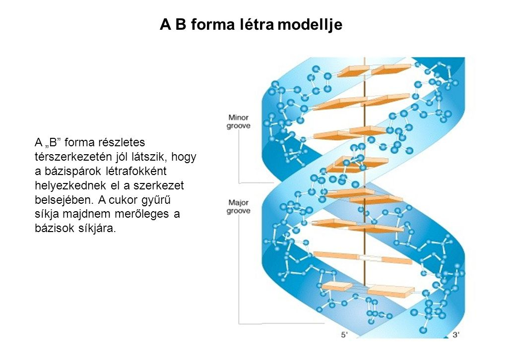 A B forma létra modellje