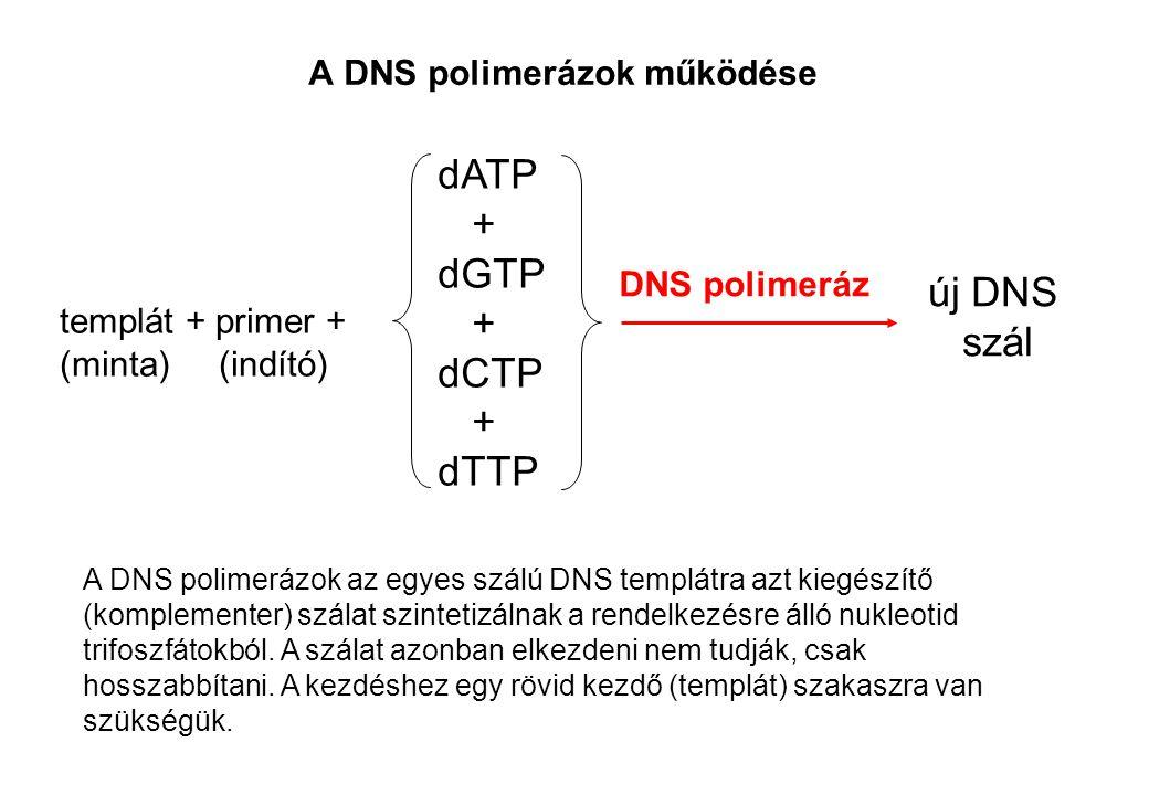 A DNS polimerázok működése