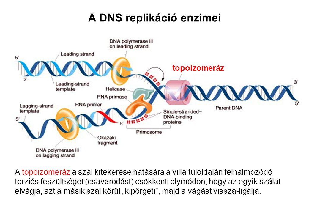 A DNS replikáció enzimei