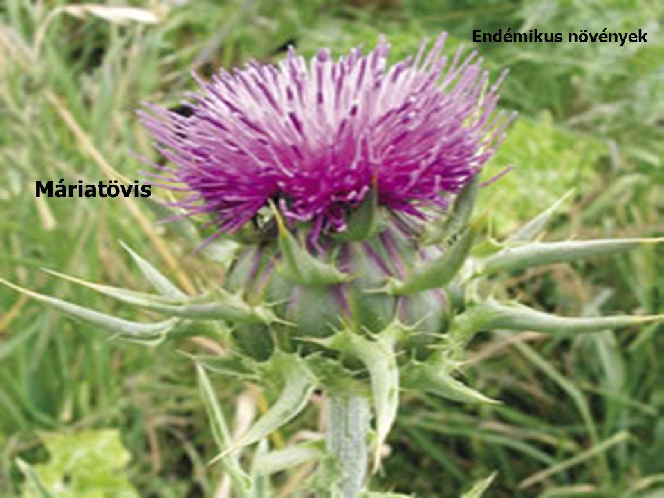 Endémikus növények Máriatövis