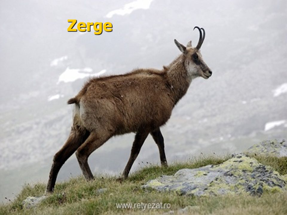 Zerge