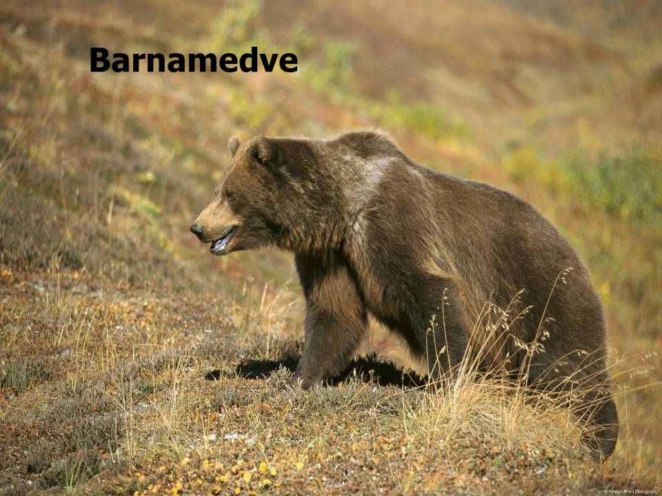 Barnamedve