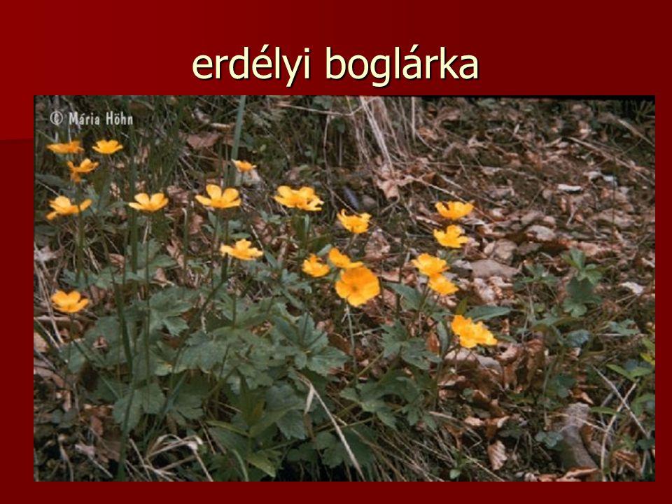 erdélyi boglárka