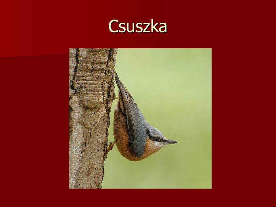 Csuszka