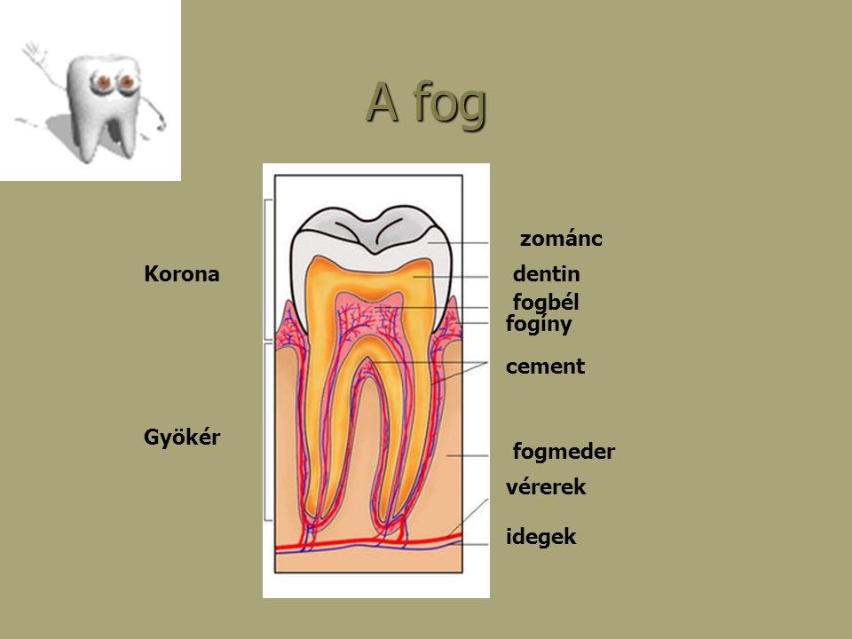 A fog zománc Korona dentin fogbél fogíny cement Gyökér fogmeder