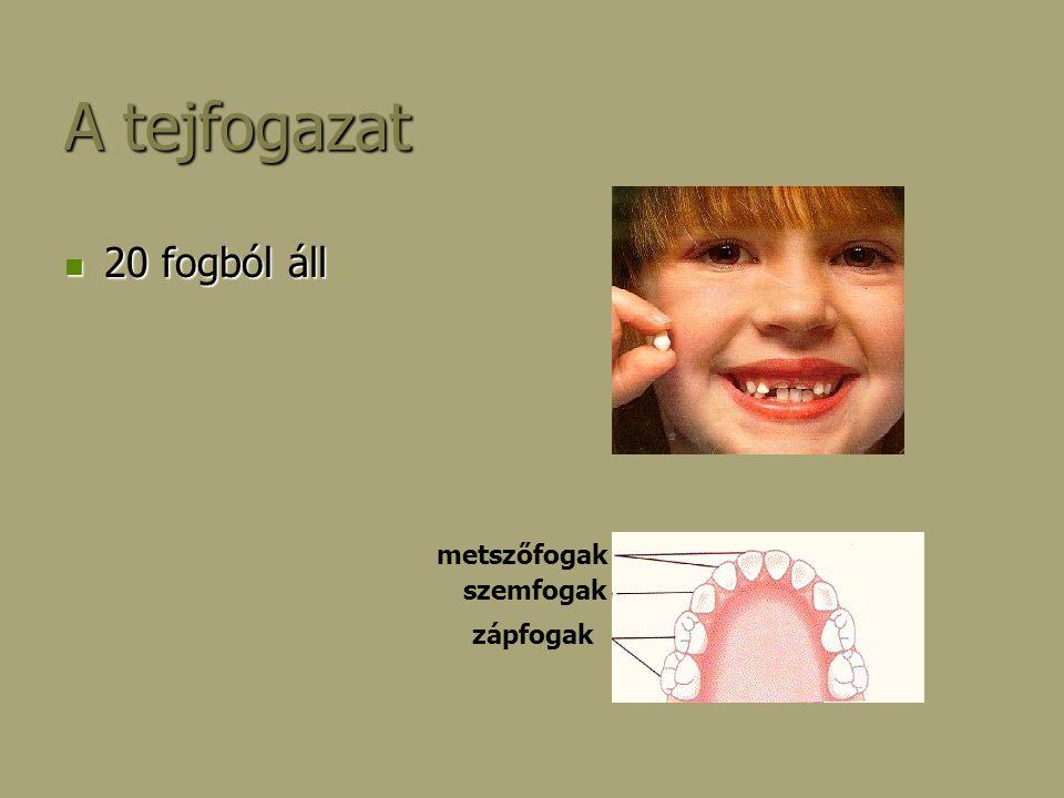 A tejfogazat 20 fogból áll metszőfogak szemfogak zápfogak