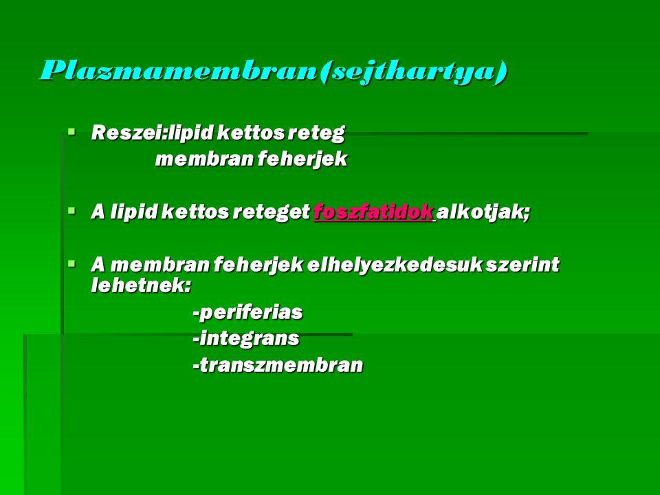 Plazmamembran(sejthartya)