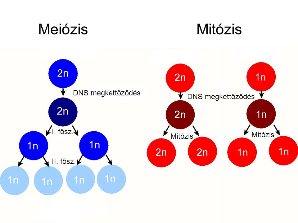 Meiózis Mitózis 1n 1n 1n 1n DNS megkettőződés DNS megkettőződés