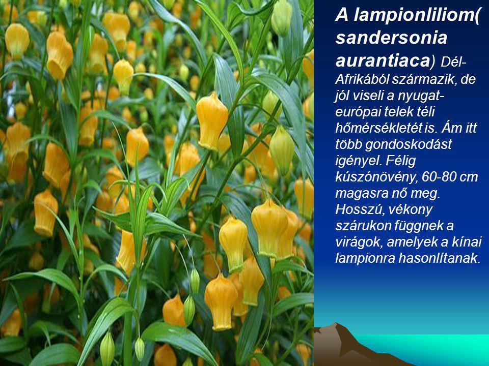 A lampionliliom( sandersonia aurantiaca) Dél-Afrikából származik, de jól viseli a nyugat-európai telek téli hőmérsékletét is.