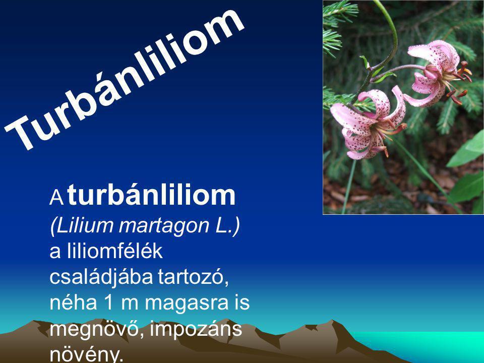 Turbánliliom A turbánliliom (Lilium martagon L.) a liliomfélék családjába tartozó, néha 1 m magasra is megnövő, impozáns növény.