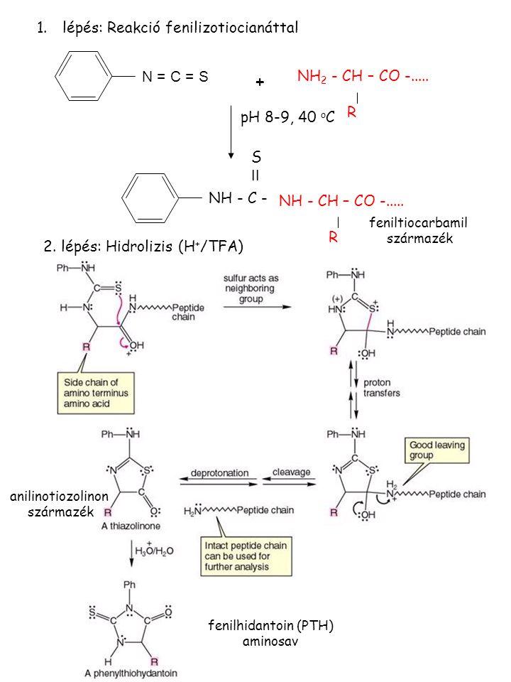 + lépés: Reakció fenilizotiocianáttal N = C = S NH2 - CH – CO -..... R