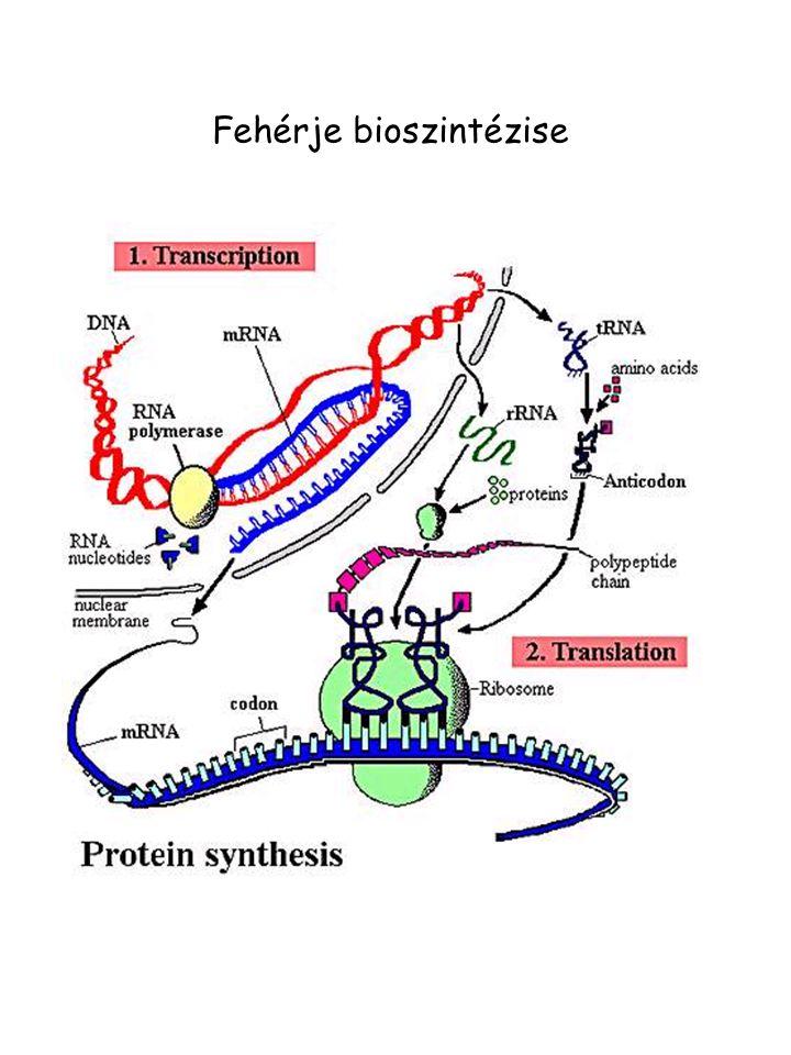 Fehérje bioszintézise