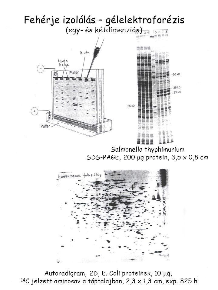 Fehérje izolálás – gélelektroforézis