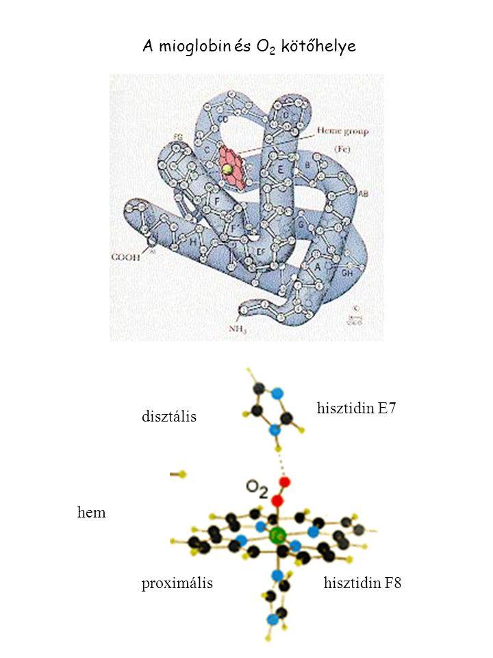 A mioglobin és O2 kötőhelye