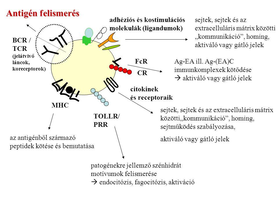 Antigén felismerés BCR / TCR adhéziós és kostimulációs