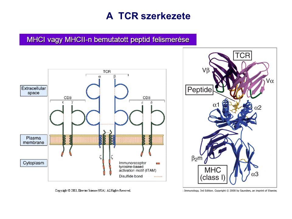 MHCI vagy MHCII-n bemutatott peptid felismerése