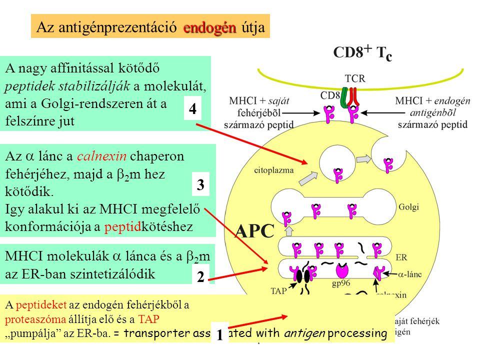 Az antigénprezentáció endogén útja