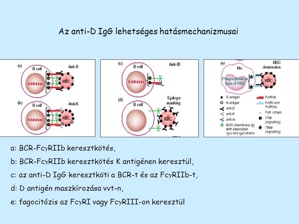 Az anti-D IgG lehetséges hatásmechanizmusai