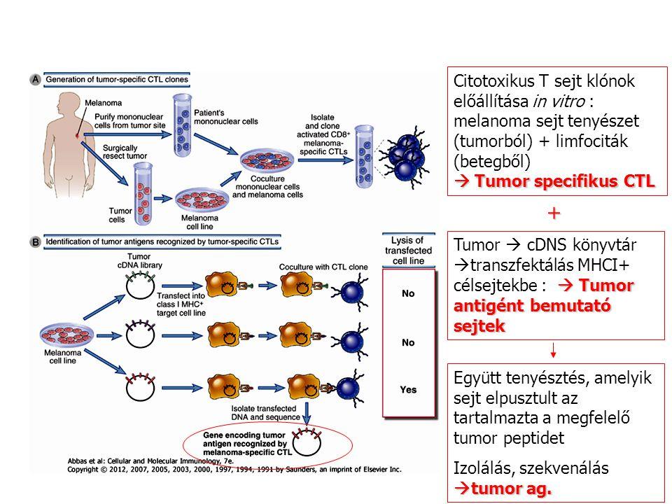 Citotoxikus T sejt klónok előállítása in vitro : melanoma sejt tenyészet (tumorból) + limfociták (betegből)