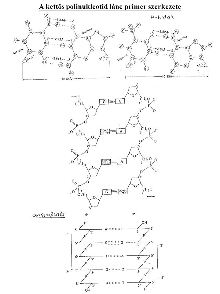 A kettős polinukleotid lánc primer szerkezete