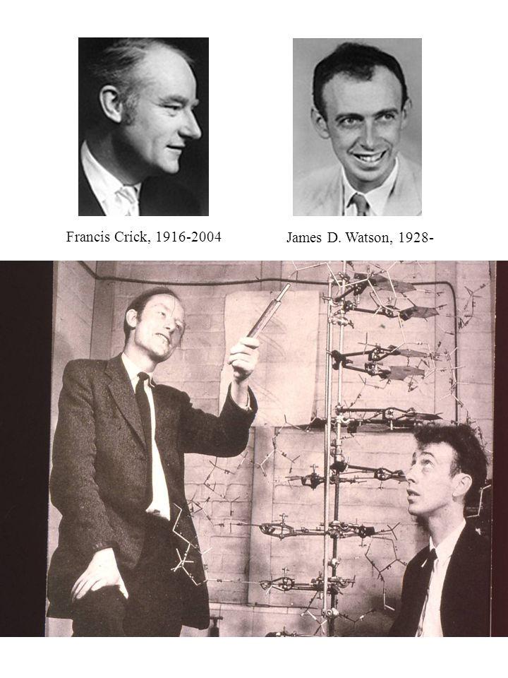 Watson, 1928 Crick, 1916 Francis Crick, 1916-2004