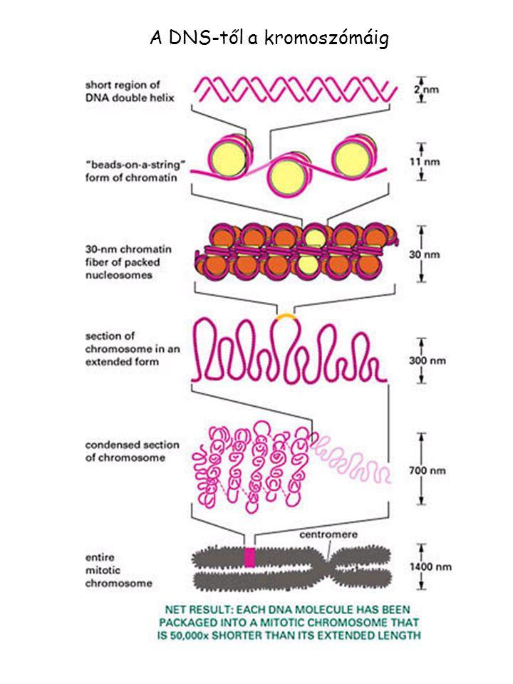 A DNS-től a kromoszómáig