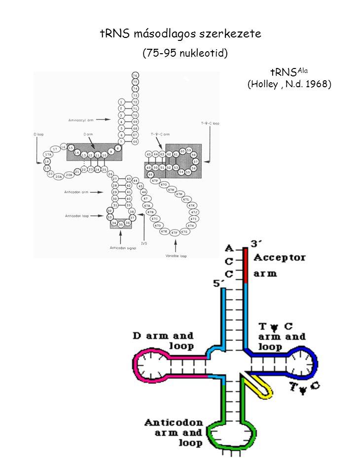 tRNS másodlagos szerkezete