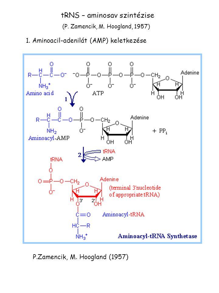 tRNS – aminosav szintézise