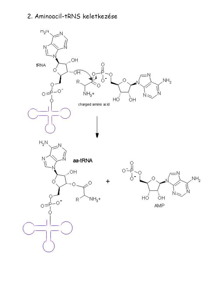 2. Aminoacil-tRNS keletkezése