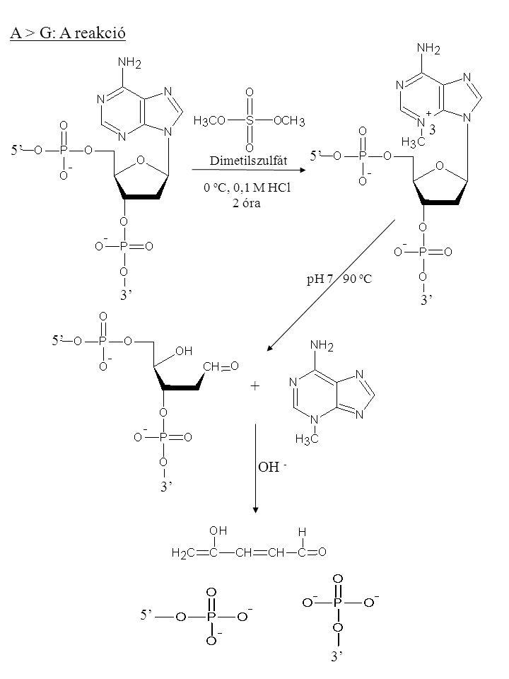 A > G: A reakció + 3 5' 5' 3' 3' 5' OH - 3' 5' 3' Dimetilszulfát