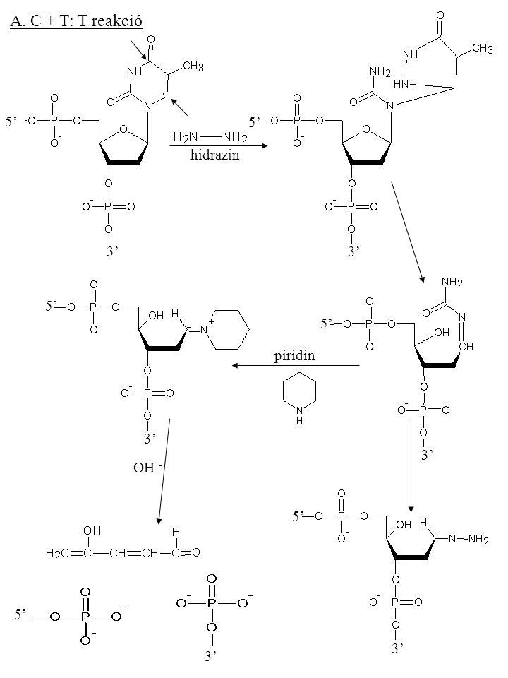 A. C + T: T reakció 3' 5' 3' 5' hidrazin 3' 5' 3' 5' piridin OH - 3'