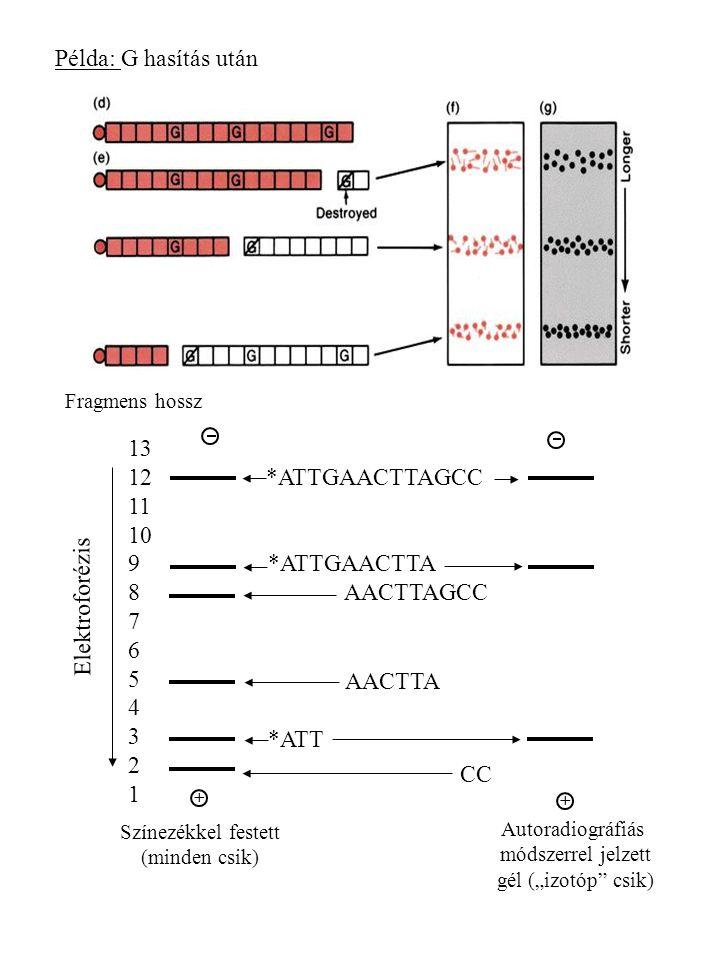 Példa: G hasítás után 13 12 11 10 9 8 7 6 5 4 3 2 1 *ATTGAACTTAGCC
