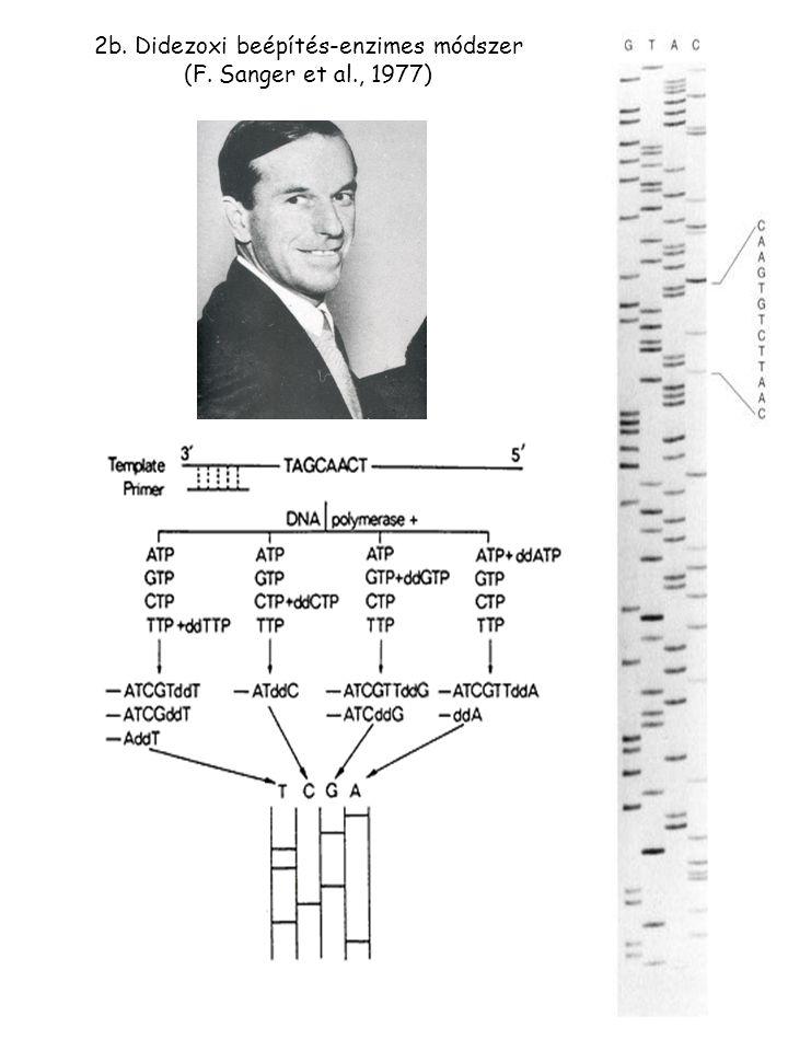 2b. Didezoxi beépítés-enzimes módszer (F. Sanger et al., 1977)