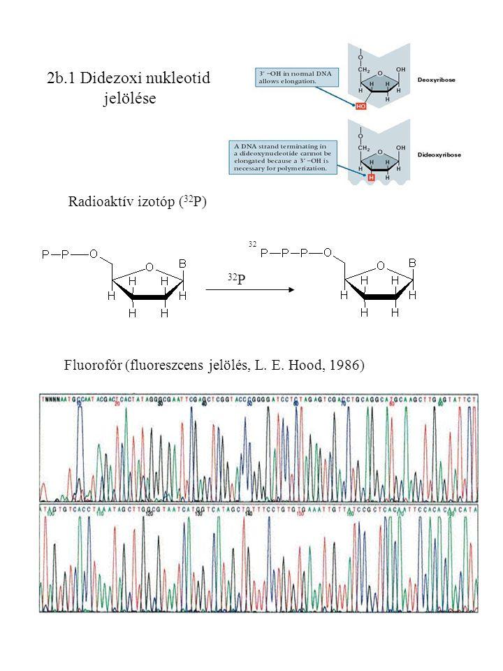 2b.1 Didezoxi nukleotid jelölése Radioaktív izotóp (32P) 32P