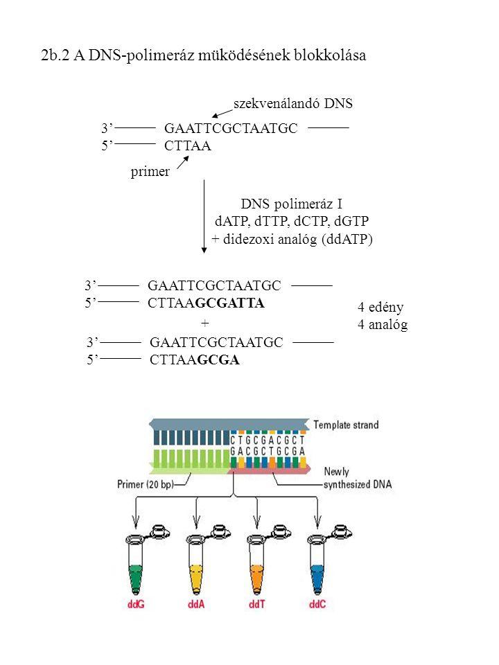 DNS polimeráz I dATP, dTTP, dCTP, dGTP + didezoxi analóg (ddATP)