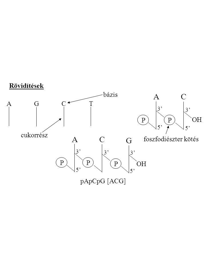A C A C G Rövidítések bázis A G C T P OH cukorrész