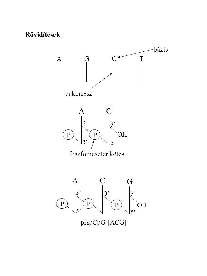 A C A C G Rövidítések bázis A G C T cukorrész P OH