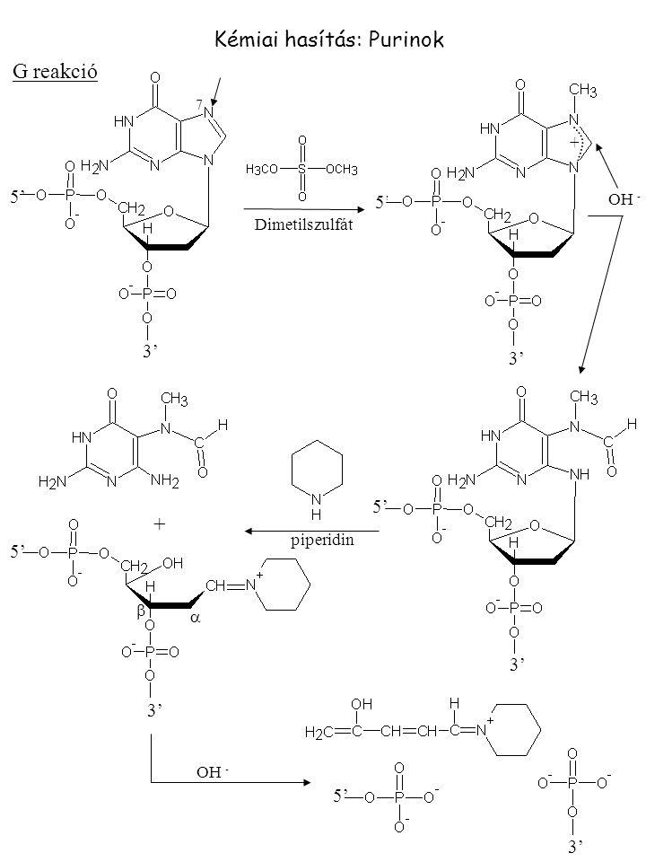 Kémiai hasítás: Purinok G reakció